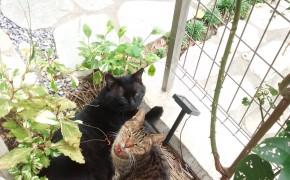 母ちゃん猫とニャゴ